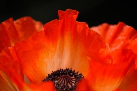 Poppies 2009 021