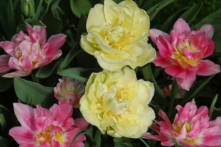 Tulip Verona & Peach Blossom